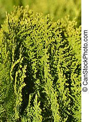 Dwarf golden oriental thuja - Latin name - Platycladus orientalis Aurea Nana (Thuja orientalis Aurea Nana)
