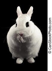 Dwarf Hotot Rabbit - Dwarf hotot rabbit isolated on black ...