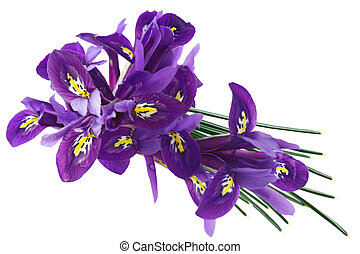 Dwarf Iris - Purple Dwarf iris (Iris reticulata) flowers and...