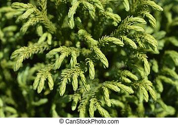 Dwarf Japanese cedar Globosa Nana branches - Latin name - Cryptomeria japonica Globosa Nana
