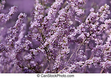 Dwarf Lilac