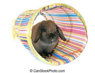 Dwarf lop-eared rabbit in front of white background