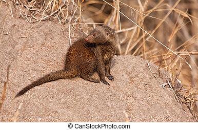 Dwarf mongoos sitting in the sun
