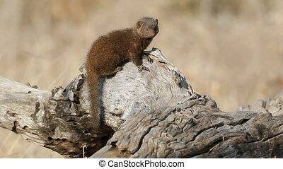 Dwarf mongoose (Helogale parvula), Kruger National park,...