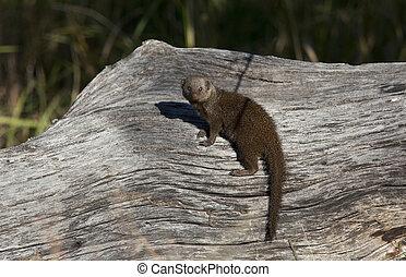 Dwarf Mongoose - Savuti region of Botswana