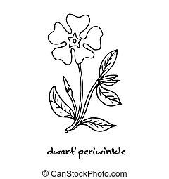 Dwarf periwinkle, or Vinca minor, verctor illustration