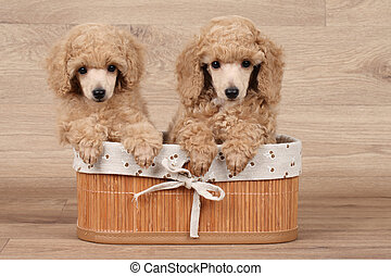 Dwarf poodle puppy in basket