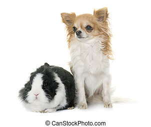 dwarf rabbit and chihuahua