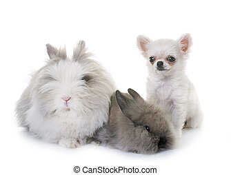 dwarf rabbit and puppy chihuahua