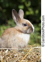 Dwarf rabbit - Brown dwarf rabbit in a hay