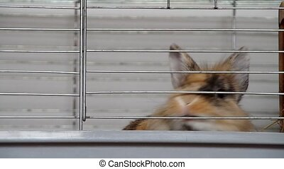 Dwarf rabbit in a cage bites a cage