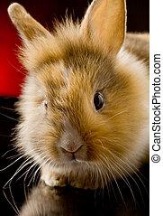 Dwarf Rabbit with Lion's head - photo of adorable dwarf ...
