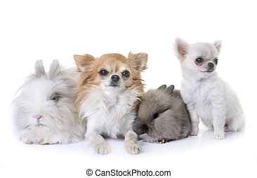 dwarf rabbits and chihuahuas