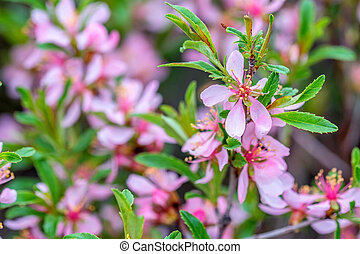 Dwarf Russian almond - Wallpaper with blossoming of dwarf...