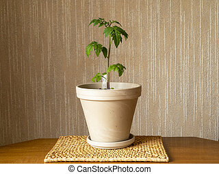 Dwarf tomato plant variety Red Robin grown indoors