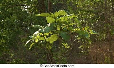 Dwarfed teak plant in a forest, Taungoo, Myanmar - Medium...