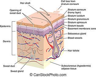 dwarsdoorsnede, van, menselijke huid