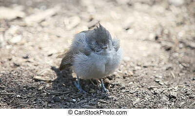 juvenile titmouse shivering and dying on the ground