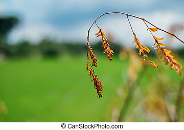 Dying brown leaf with green rice field background