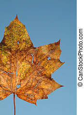 macro of a dying leaf in autumn colors against blue sky