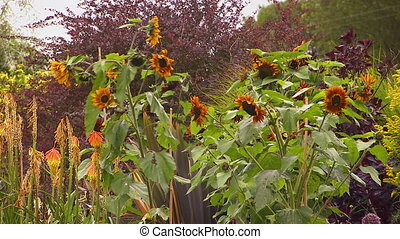 A steady shot of dying sunflowers on a garden.