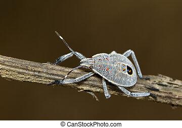 dyr, image, insect., branch., hemiptera, belly, brun