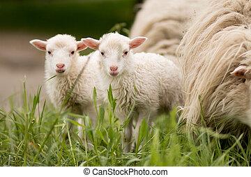 dyr, landlige, pattedyr, tvillinger, sheep, lampe, agerjord, unge