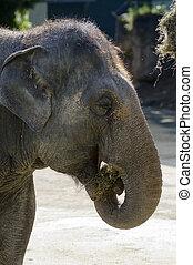 dyr, naturliv, -, elefant