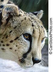 dyr, naturliv, -, gepard