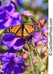 dyr, naturliv, -, sommerfugle