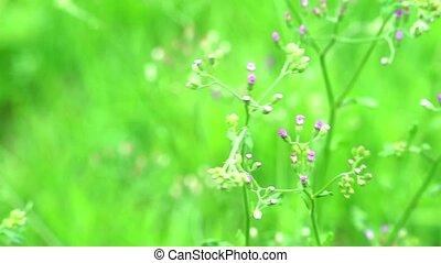 dysentery, emilia, sonchifolia, santé, traitement, avantages, feuilles, utilisé