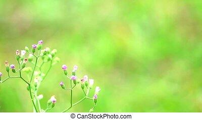 dysentery1, santé, fait, feuilles, emilia, thé, avantages, sonchifolia, traitement, utilisé
