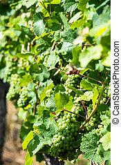 dziedziniec, winogrona, Wino