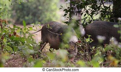 dziki, świnie