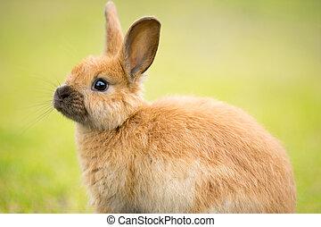 dziki, królik, karmi, na, miejscowy, obsiewa trawą, sprytny,...