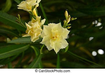 dziki, oleander, o.), (nerium
