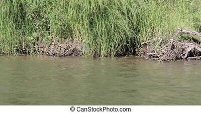 dziki, rzeka bank