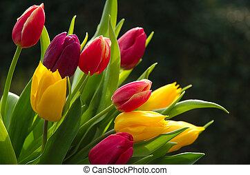 dziki, tulipany