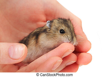dzungarian mouse in the human hand