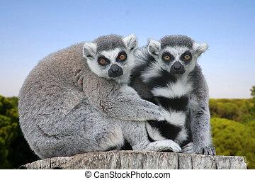 lemur - e lemur in the nature