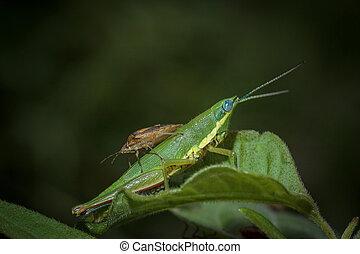 grasshopper - Eaa grasshopper on green leaves.