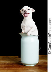 Eager Chihuahua - A wind blown chihuahua in a pitcher.