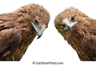 Eagle Aquila clanga isolated on a white background.
