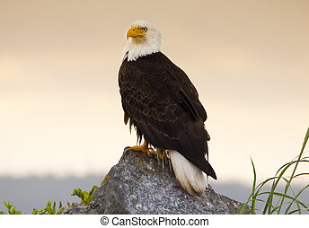 American Bald Eagle perched on a rock by the ocean side. Photographed on Vancouver Island.