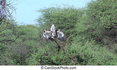 eagle bird on tree america savannah usa - America safari...