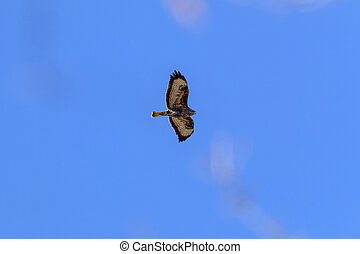 Eagle Buzzard in flight