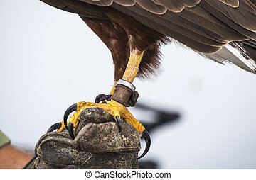 Eagle Claw - Eagle is a common name for many large birds of ...