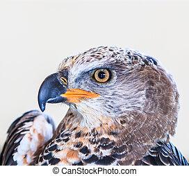 Eagle Crowned (Stepphanoaetus Coronatus)