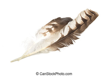 Eagle feather isolated on white background