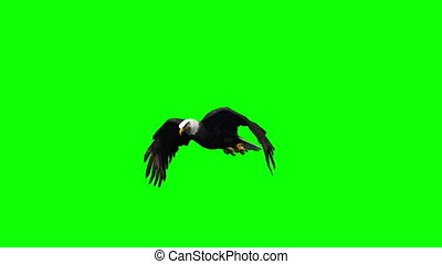 eagle flying - 2 different views - green screen